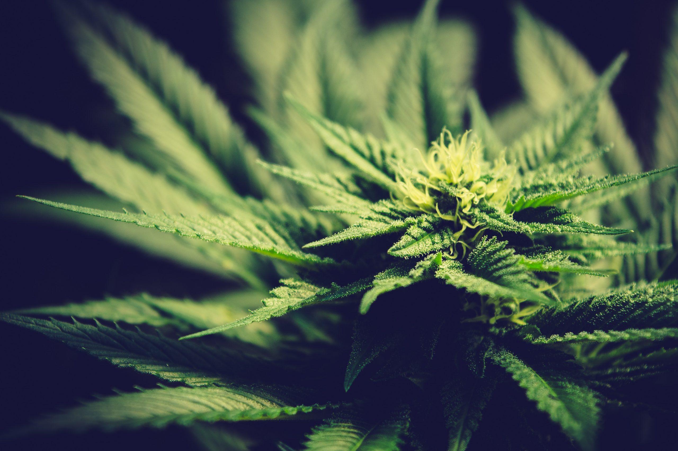 Autoflower Cannabis