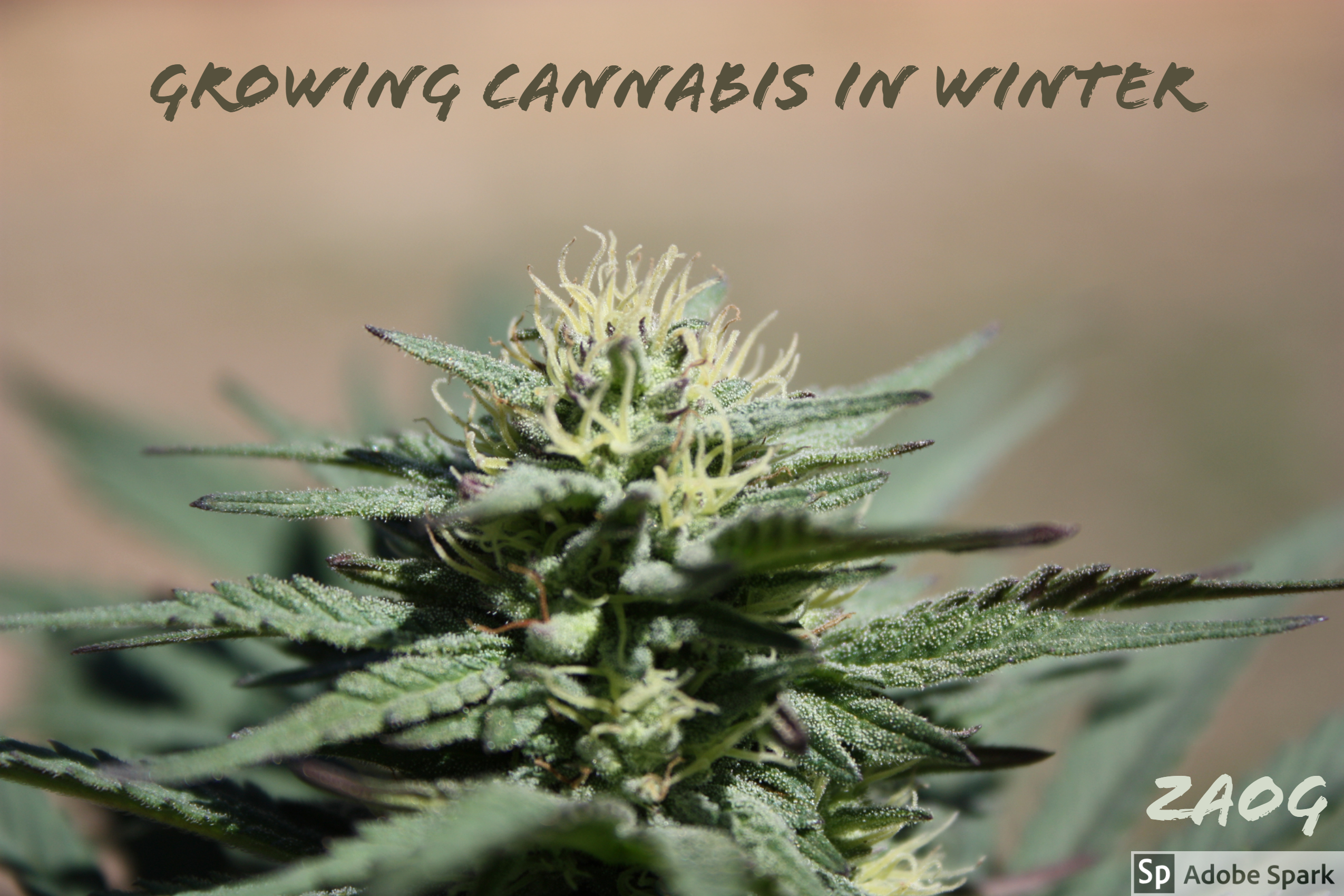 growing cannabis in winter