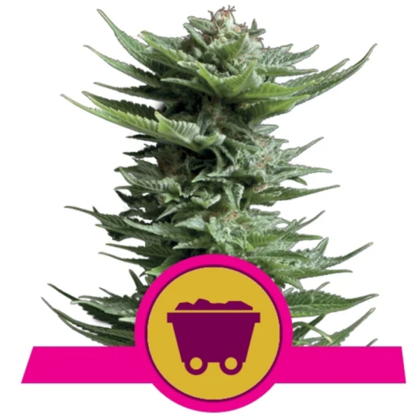 Shining Silver Haze Feminized - Breeders Pack