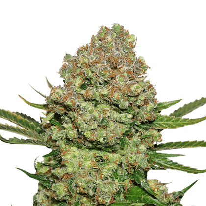 White Widow Cannabis Seed