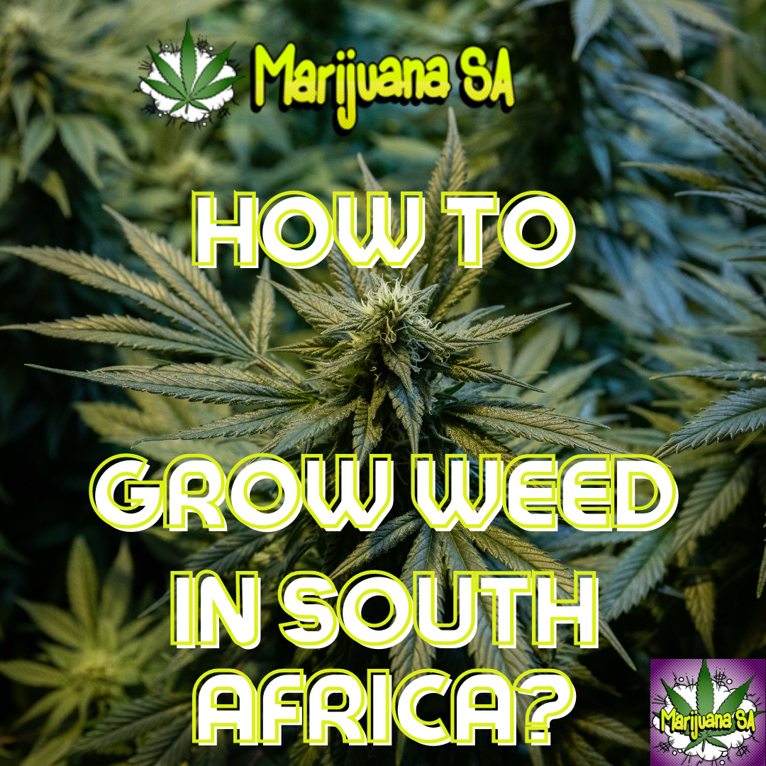 How to grow weed in South Africa_