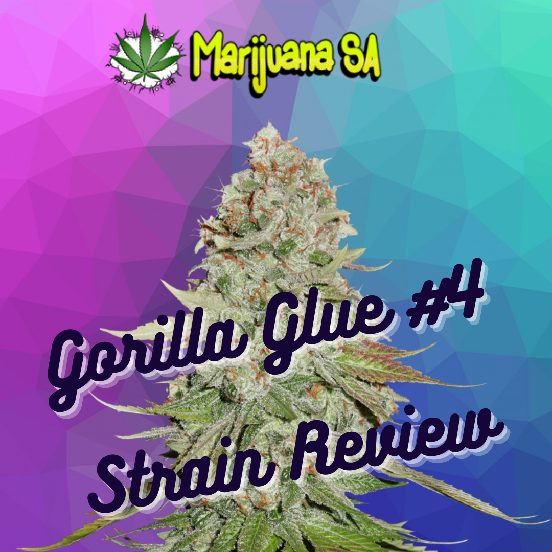 MSA Gorilla Glue Strain Review