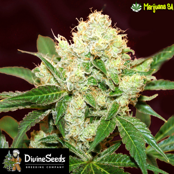 Divine seeds Big Demon Autoflower