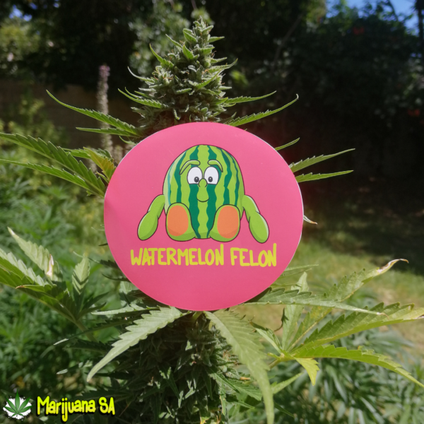 Watermelon Felon Sticker